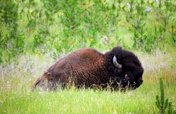 Bison in Field Royalty Free Stock Photo