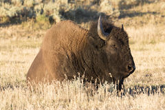 Bison in field of Hayden Valley of Yellowstone Royalty Free Stock Photos