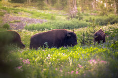 Bison in a field. Image of bison/buffalo in a field of wildflowers Stock Images