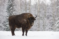 Bison On Field. Majestic Powerful Adult Aurochs Wisent In Winter Time, Belarus. Wild European Wood Bison,Bull Male. Wildlife. Scene From Nature With Brown Bison royalty free stock photography