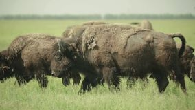Bison in a field on pasture. Slow motion