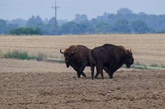 Bison on the field. Two bison standing on a plowed field Royalty Free Stock Image