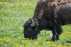 Bison in a Field. This bison was grazing in a field of flowers in Yellowstone National Park. The colors of the field and the dark of the bison made a nice Stock Photo
