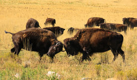 Bison fight. Ing in the Yellowstone National Park, Wyoming stock images