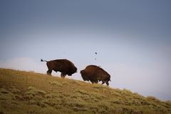 Bison Fighting Lizenzfreies Stockbild