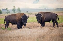Bison Fighting Stockbild
