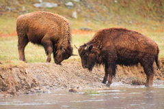 Bison Fighting Along River Royalty Free Stock Photo