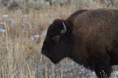 Bison Foraging Lizenzfreie Stockbilder