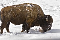 Bison foraging for food in snow. Bison foraging in the winter, looking for grasses using head to brush away snow Royalty Free Stock Image