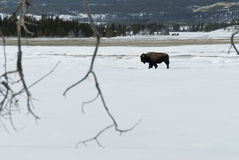 Bison, Fountain Paint Pots area, Yellowstone NP Royalty Free Stock Photography