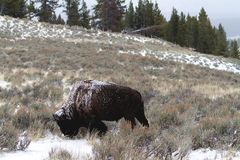 Bison with Fresh Snow on Back. A lone bison eating grass as light snow dusts his back and the general area Royalty Free Stock Photo