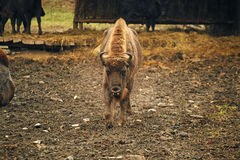 Bison, front view Stock Image