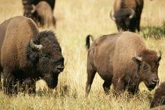 Bison-Geliebt-Streit Lizenzfreie Stockfotografie