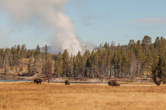 Bison and Geysers Stock Photo
