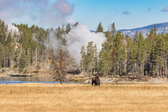 Bison and Geysers Royalty Free Stock Image