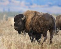 Bison giving a backwards glance. In the Grand Teton National Park royalty free stock image