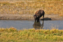 Bison go on a watering place Stock Photography