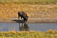 Bison go on a watering place in Yellowstone Royalty Free Stock Photography