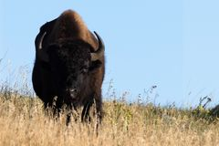 Bison in golden light stock photo