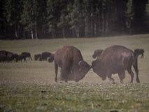 Bison Grand Canyon National Park royalty-vrije stock fotografie