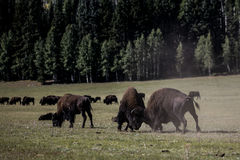 Bison Grand Canyon National Park Royalty Free Stock Images