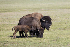 Bison Grand Canyon National Park stock image