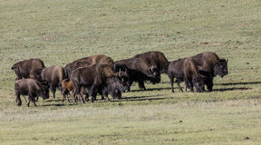 Bison Grand Canyon National Park stock images