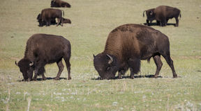 Bison Grand Canyon National Park royalty free stock image