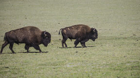 Bison Grand Canyon National Park Stock Photo
