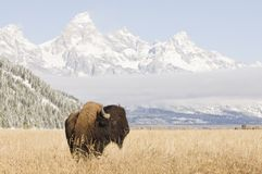 Bison at Grand Teton Mountains. With grass meadow royalty free stock images