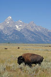 Bison in Grand Teton National Park. Buffalo graze along the Grand Teton Mountain Range in Western Wyoming royalty free stock photo