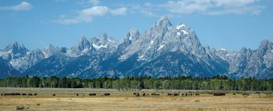 Bison in the grand tetons Stock Photography