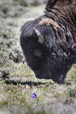 Bison Grand Tetons 2014 e 2015 fotografie stock