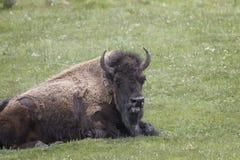 Bison Grand Tetons 2014 e 2015 Fotos de Stock