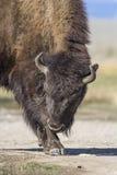 Bison Grand Tetons 2014 et 2015 photos libres de droits