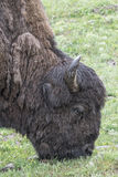 Bison Grand Tetons 2014 and 2015 Royalty Free Stock Image
