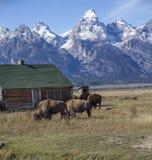 Bison Grand Tetons 2014 and 2015 stock image