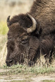Bison Grand Tetons 2014 and 2015 stock images