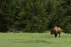 Bison in Grand Tetons National Park Stock Photos