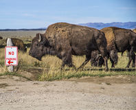 Bison Grand Tetons 2014 und 2015 stockfotos