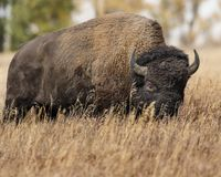 Bison in the grass. Bison has his nose buried in the tall grass Grand Teton National Park, Wyoming, USA royalty free stock images