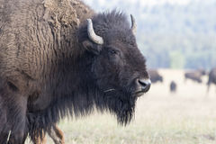 BISON IN GRASS MEADOW  STOCK IMAGE Stock Images