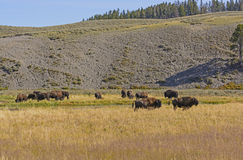 Bison on the Grasslands in the American West Stock Photo