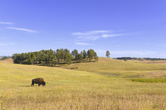 Bison in Grasslands, Wind Cave National Park, South Dakota Stock Photography