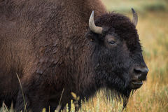Bison in grasslands of Yellowstone National Park in Wyoming. In the United States of America Stock Photos
