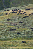 Bison in grasslands of Yellowstone National Park in Wyoming. In the United States of America Stock Photography
