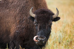 Bison in grasslands of Yellowstone National Park in Wyoming. In the United States of America Stock Images