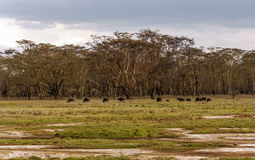 Bison grazing Stock Photo