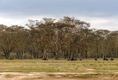 Bison grazing Royalty Free Stock Image