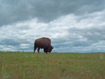 Bison Grazing Stock Photography